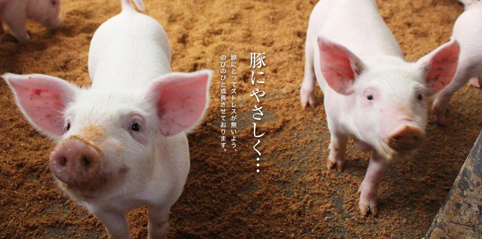 豚にとってストレスが無い様、のびのびと成長させております。